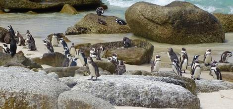Boulders-Beach-pinguins-1